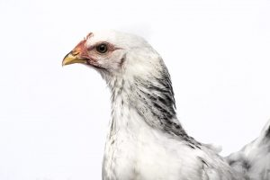 chickens fotografia galinhas por joao carlos.